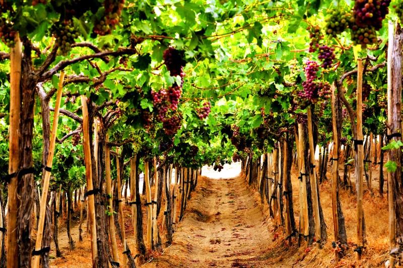 Новые 26 сортов винограда